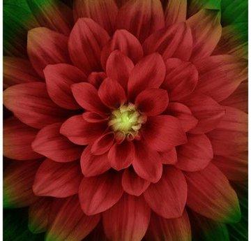 Scarlet Dream Big Flower Digital Panel 43in x 43in