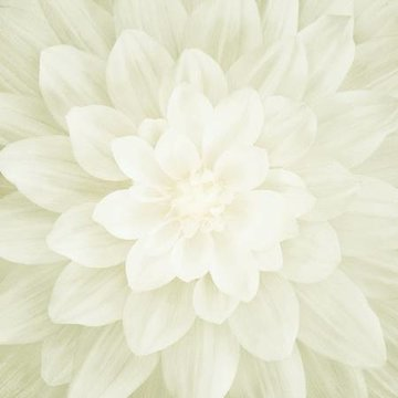 Ivory Large Flower 43in x 43in Digitally Printed