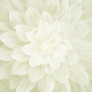 Ivory Large Flower 43in x 43in Digitally Printed
